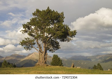 black pine tree in the mountains