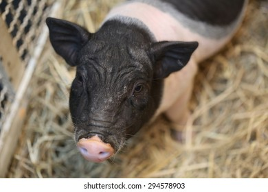 black pink pig, herd of young piglet on hay and straw at pig breeding farm