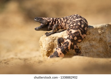Black and pink striped lizard on a stone. Dangerous yet endangered wild animal. Very unusual exotic creature.