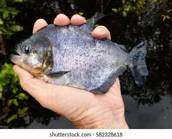Black Piranha, Serrasalmus rhombeu. Amazonas, Brazil