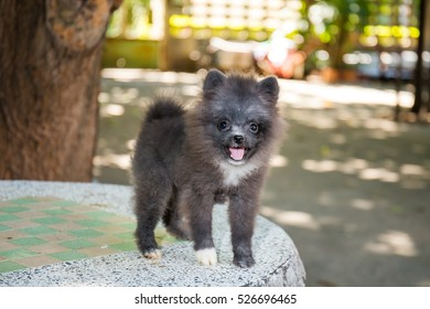 Black pomeranian dog on marble table, cute pet in home