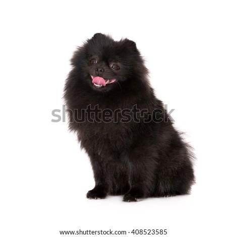 Black Pomeranian Spitz Dog Sitting On Stock Photo Edit Now