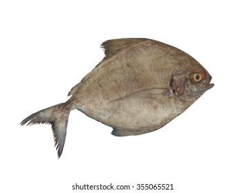 Black pomfret fish isolated on white background
