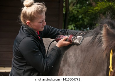 Black pony being clipped by young woman.