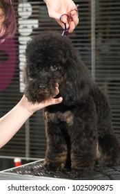 black poodle at the dog hairdresser