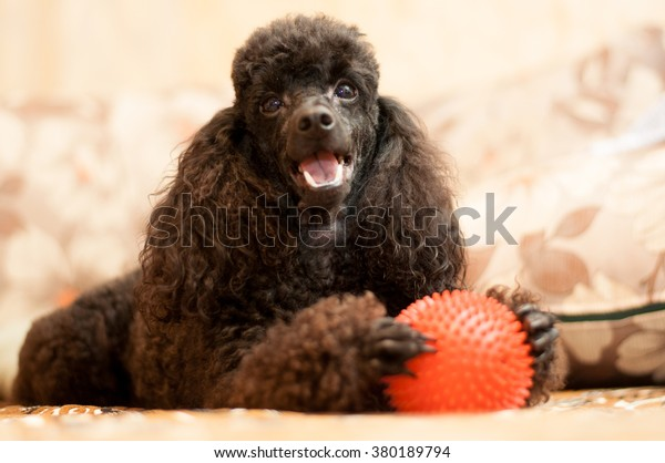 Black poodle with red ball is in the room day