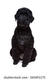 black poodle sitting in front of a white background