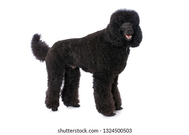 Black poodle standing isolated on white background