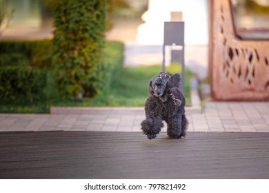 Black poodle is walking and playing