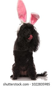 black poodle wearing easter bunny ears locks its nose on white background
