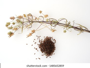 Black psyllium, Afra plantago is an important medicinal plant and is widely used in medicine. The plant is one year old.