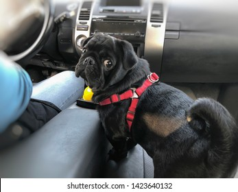 Black pug in the car. Pug sits next to the driver.