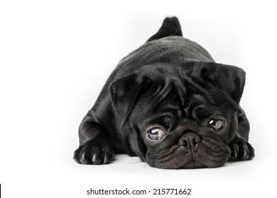 Black pug dog isolated on a white background