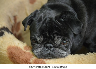 Black pug dog look at home
