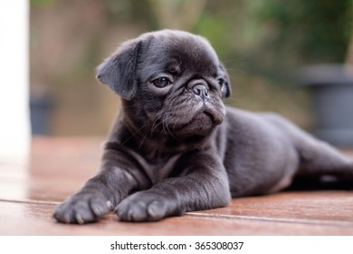 Black pug dog lying on wooden floor.