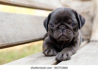 The black pug dog lying on wooden chair.