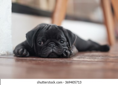 The black pug dog lying on wooden floor in garden.