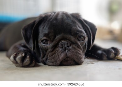 Black pug dog lying on concrete floor in very hot day.