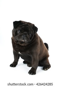 Black pug isolated on white looking at camera portrait