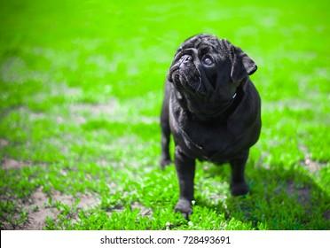 black pug Monica