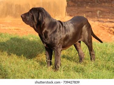 Black Puppy of Brazilian Mastiff, Fila Brasileiro, 06 months old