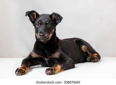 black puppy on a white background