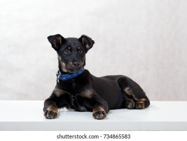 black puppy on a white background