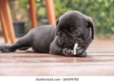 The black puppy pug dog lying to eat dog snack on wooden floor.