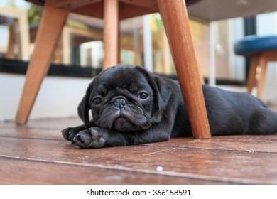 The black puppy pug dog lying to sleep on wooden floor.