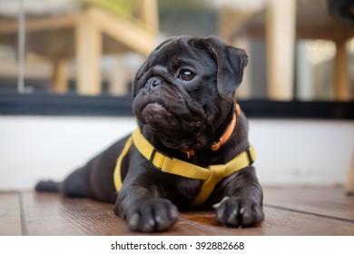 Black puppy pug dog lying on wooden floor.