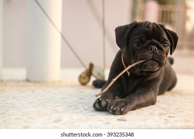Black puppy pug dog lying to bite branch on marble.
