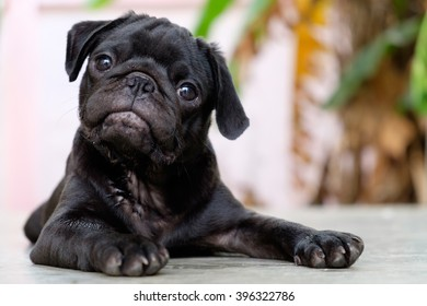 Black puppy pug dog lying on concrete floor.