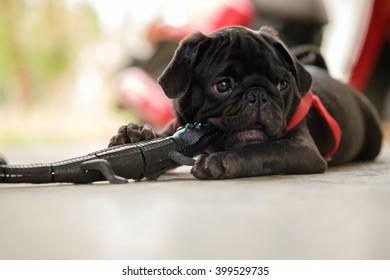 Black puppy pug dog lying with Crocodile toy model  on concrete floor.