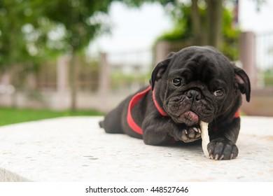 Black puppy pug dog lying to eat dog snack marble floor.