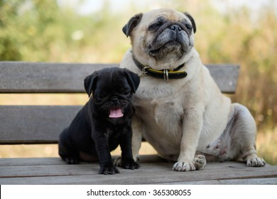 The black puppy pug dog sitting with fawn pug dog on wooden chair.