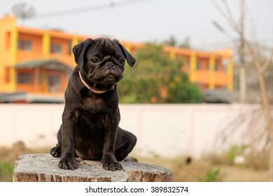 Black puppy pug dog sitting on stump.
