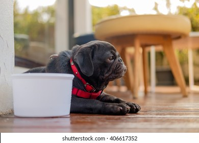 Black puppy pug dog sitting with a white cup of  water on wooden floor in very hot day.