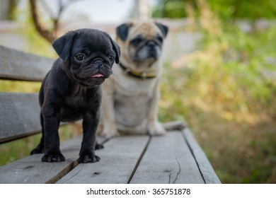 The black puppy pug dog standing front female fawn pug on wooden chair.
