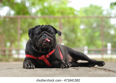 Black puppy pug dog waiting to eat dog snack on concrete road.