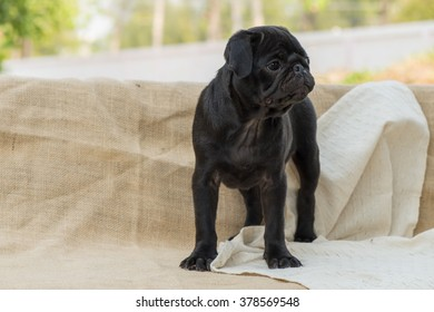 Black puppy pug standing on sackcloth and wooden chair.