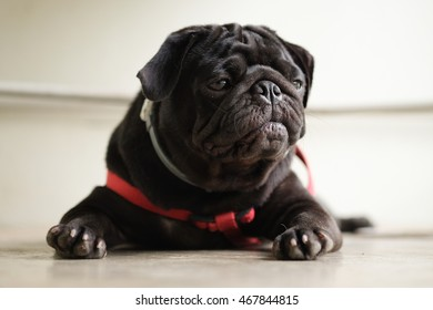 Black puppy pug waiting to eat dog snack on concrete floor.