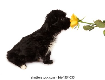 Black puppy sniffes a yellow flower on a white background.