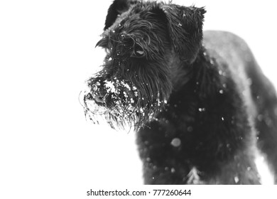 Black puppy in the snow with white background