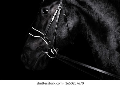 Black purebred friesian horse in black dressage bridle and bit isolated on black background. witj copy space. Animal portrait.