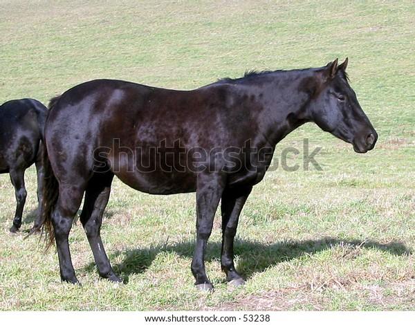 Black Quarter Horse Mare