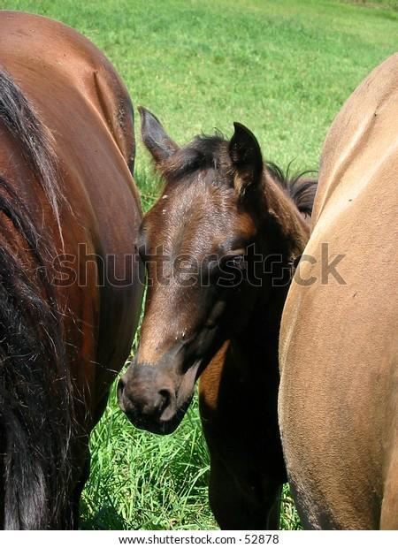 Black Quarter Horse Stud Colt