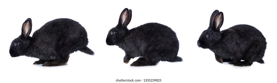 Black rabbit hopping isolated on white background