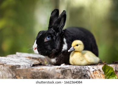 black rabbit posing outdoors with a duckling for easter