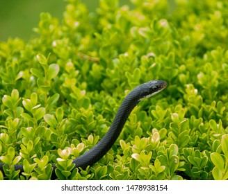 A black racer snake is a common garden snake in Florida. It is hanging out in a bush.