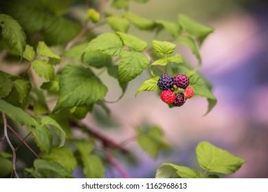 Black Raspberry Bush Vines